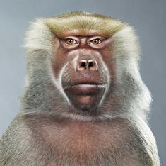 Photo & Co - Jill Greenberg - Monkey Work Inspiration, Portrait Inspiration, Jill Greenberg, Monkey See Monkey Do, Sweet Station, Primates, Endangered Species, Portrait Photo, My Animal