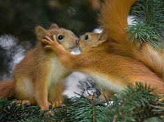 Sergey Bezberdy também registrou um beijo animal, mas entre dois esquilos, em um parque de Minsk, na Bielorrússia  Foto: The Grosby Group