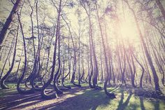 The Crooked Forest, West Pomerania, Poland