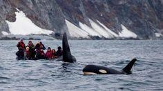 Russian orca off the east coast of the Kamchatka Peninsula, feeding on Atka mackerel.