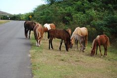Horses graze freely in the streets and fields of Vieques. Puerto Rico    Leigh Ann Henion / FOR THE WASHINGTON POST