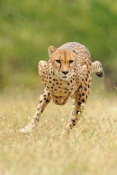 CHETTAH RUNNING The cheetah can run faster than any other land animal— as fast as 112 to 120 km/h (70 to 75 mph)[3][4][5][6][7][8] in short bursts covering distances up to 500 m (1,600 ft),