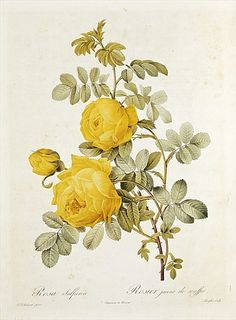 PIERRE REDOUTÉ (1759-1840) Several cabbage and single petal roses and others.