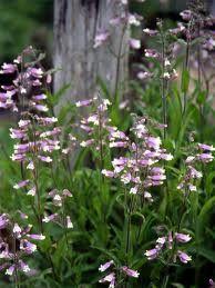 Penstemon hirsutus Penstemon hirsute-Hairy Beardtongue Floraison =juin Hauteur =30-45 cm Espacement =30 cm Zone = 3 Plante peu exigeante qui pousse dans les lieux biens drainés. Attire les colibris et pollinisateurs. Indigène