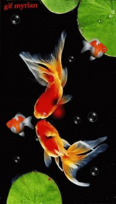 3d Animation Wallpaper, 1440x2560 Wallpaper, Underwater Wallpaper, Cute Wallpaper Backgrounds, Beautiful Gif, Beautiful Birds, Glowing Flowers, Cherry Blossom Watercolor, Coy Fish