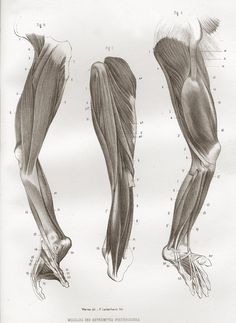 The muscles of the legs and feet of a gorilla