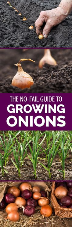 Growing onions from seed might sound like hard work, but it has a distinct number of benefits for gardeners and vegetable growers. Find out how to grow onions from seed in this detailed guide from an experienced British vegetable grower. Growing Onions From Seed, Growing Seeds, Gardening For Beginners, Gardening Tips, Florida Gardening, Growing Veggies, Growing Tomatoes, Companion Planting, Organic Vegetables