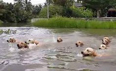 Daily Cute: Golden Retrievers Enjoy A Swim   Care2 Healthy Living
