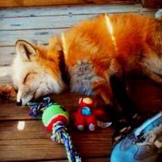 pet fox...i have a new obsession most definitely!