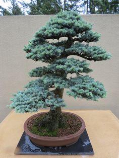 The Practical Plant Geek: Pacific Rim Bonsai Collection