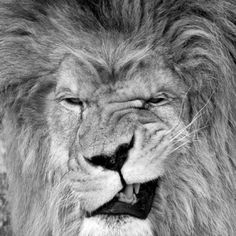 A king's wink lion #photography