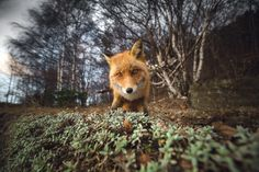 A curious fox approaches the camera in this National Geographic Your Shot Photo of the Day.