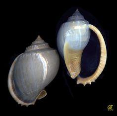 Phalium glaucum L., 1752 - Madagascar by giubit, via Flickr