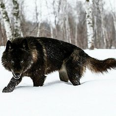 Say hello to Night Wolf. She is my Spirit Wolf. Wolf Spirit, Spirit Animal, Beautiful Creatures, Animals Beautiful, Tier Wolf, Regard Animal, Animals And Pets, Cute Animals, Wild Animals