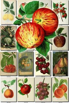 FRUITS VEGETABLES-32 Collection of 172 vintage images Apple ne Strawberry, Michel