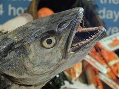A balatoni hekk a balatoni horgászat mostohagyereke. Sokan még mindig úgy gondolják, hogy a hekk a magyar halak közé tartozik. Fish, Pisces