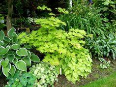 gardenJuly10 271 Acer Shirasawanum 'Aureum' (Full moon maple)