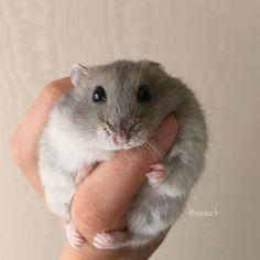 Da fat awwwwwww Kiss me plz. Super Cute Animals, Cute Funny Animals, Cute Baby Animals, Animals And Pets, Cute Dogs, Hamster Pics, Baby Hamster, Cute Hamsters, Kawaii