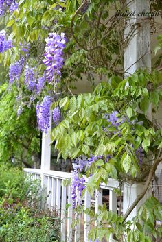 Faded Charm: ~Surrounded by Wisteria Blooms~ : This vine has completely  grown across the front porch of our house now and when in bloom it is simply beautiful and even without the blooms it provides much needed shade from the hot afternoon sun in the Summer.