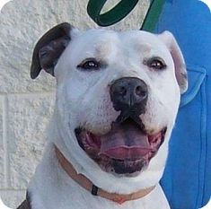 Palmdale, CA - Pit Bull Terrier Mix. Meet Aries, a dog for adoption. http://www.adoptapet.com/pet/15168624-palmdale-california-pit-bull-terrier-mix #pitbull