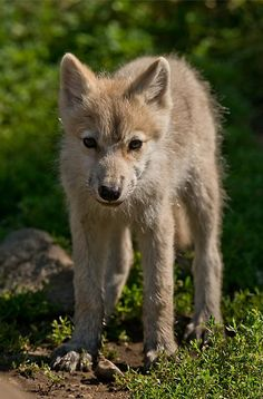 Nature Animals, Baby Animals, Cute Animals, Wild Animals, Arctic Wolf, Beautiful Wolves, Big Bad Wolf, Anime Wolf, Cute Animal Pictures