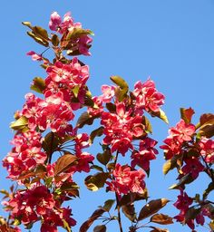 Outstanding capture, details and light of this beautiful crabapple tree Will