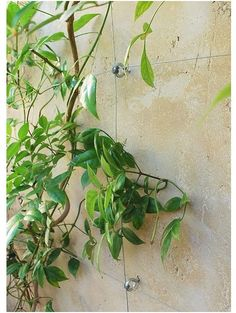 DIY Invisible Trellis using screw eyes and steel wire. I'm using this to go under my 4 foot high deck to be like lattice and train plants to cover it.