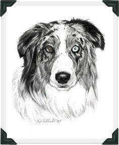 Brady the #Australian #Shepherd ~ 8x10 hand drawn pencil sketch www.gensart.net