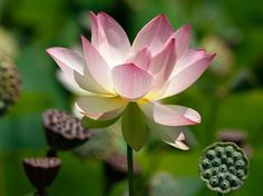 Lotus flowers in full blooming season