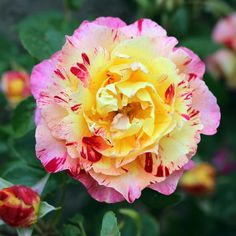 Camille Pissarro (DELstricol) (Delbard, France, 1996). Rainbow Nation. Tall floribunda with slight rose-apple fragrance. Disease resistant. Red-pink-yellow-cream striped blooms.~