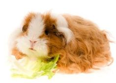 Different Breeds of Guinea Pigs.  SO CUTE!