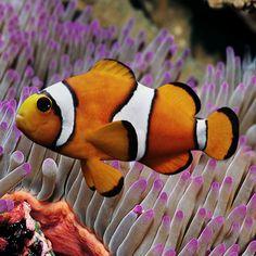 Clown Fish.. Love these cuties:)