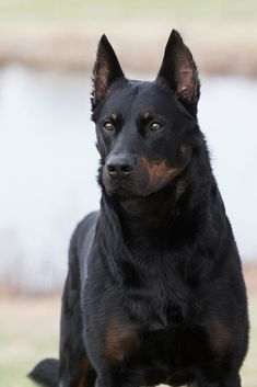 The King of Sheepdogs, the Living Fence art breeds cutest funny training bilder lustig welpen Big Dogs, Cute Dogs, Dogs And Puppies, Chien Cane Corso, Malinois Dog, Belgian Malinois Puppies, Doberman Dogs, Blue Doberman, Doberman Pinscher