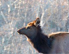 Colorado Elk Photo by JulieMagersSoulen