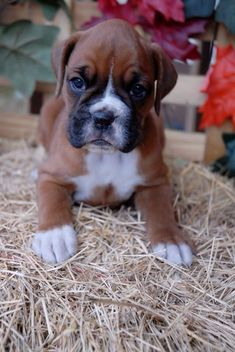 Boxer puppy from Walker Run Boxers #boxerpuppy
