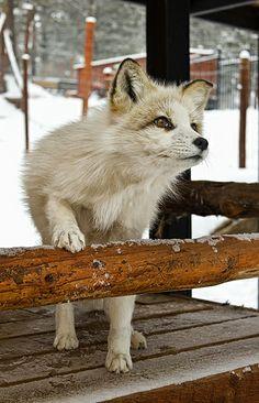 Fox Lika by Brian Cross