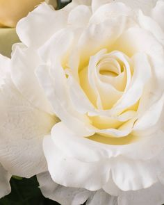 The Ivory Rose Flowe
