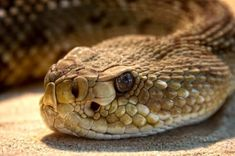 What do Rattlesnakes Eat?