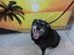 BLUE - ID#A776007  My name is BLUE.  I am a female, black Labrador Retriever mix.  The shelter staff think I am about 8 years old.  I have b...
