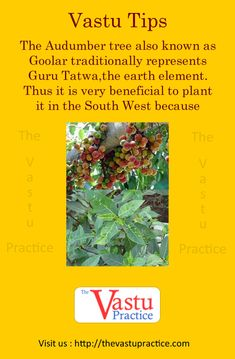 The Audumber tree also known as Goolar traditionally represents Guru Tatwa, the earth element. Feng Shui Rules, Feng Shui Tips, Earthy Home Decor, Indian Home Decor, Feng Shui History, Fen Shui, Feng Shui Design, Corner Plant, How To Feng Shui Your Home