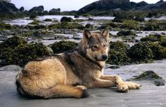 "sisterofthewolves: ""Picture by Jacqueline Windth Vancouver island wolf (Canis lupus crassodon) on Vargas Island. """