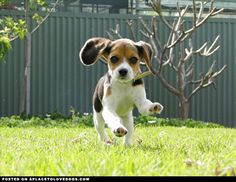 There is NOTHING CUTER than this!  Beagle Puppy Running