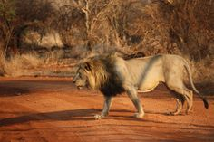 Male lion in the morning, Madikwe Game Reserve, South Africa, 2010