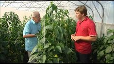 O pěstování paprik