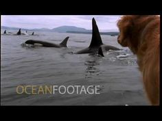 Dog watches killer whales