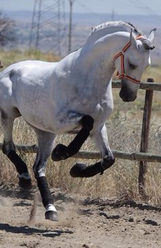 so pretty i love white horses Horses And Dogs, Cute Horses, Horse Love, Wild Horses, Black Horses, Dapple Grey Horses, Most Beautiful Animals, Beautiful Horses, Beautiful Creatures