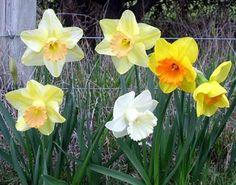 Google Image Result for http://www.mooseyscountrygarden.com/flower-bulbs/daffodil-bulbs.jpg