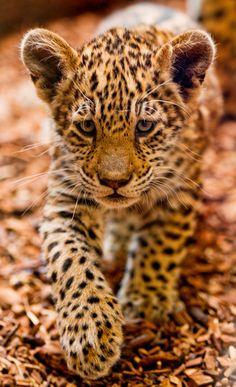 A young huntress… (by Tambako the Jaguar)