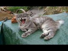 Norwegian Forest Cat, Cats, Animals, Gatos, Animales, Animaux, Animal, Cat, Animais