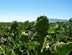 Artichoke Field, Salinas CA  Having these for dinner tonight. Fresh from the field. yum